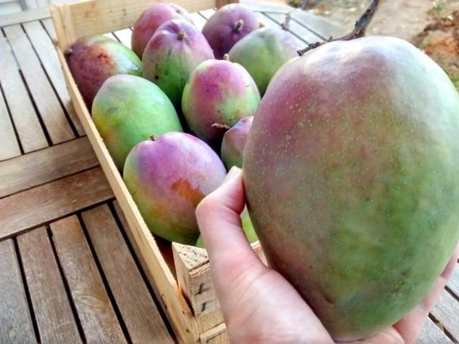 Algarve-Green-Mango-Maiskperfeito